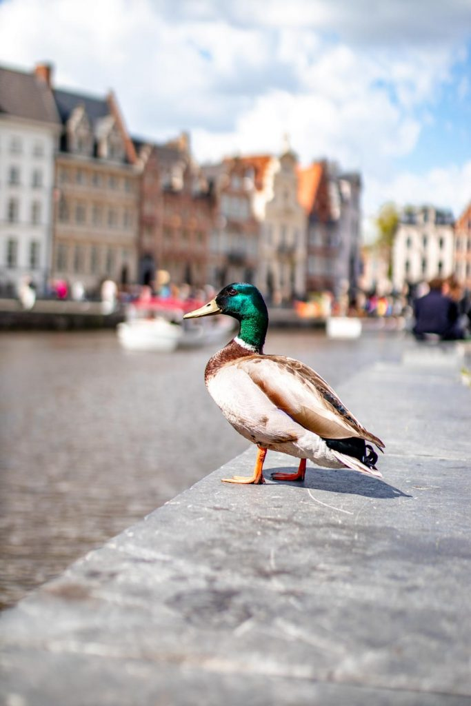 duck standing in front of the Ghent canal