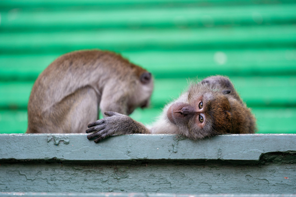 Two mischievous macaque monkeys laze on the colourful steps of the Batu Caves.